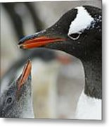 Mother And Chick Gentoo Penguins  Metal Print