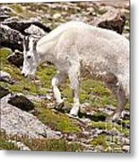 Mountain Goat On Mount Evans Metal Print