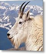 Mountain Goat Portrait On Mount Evans Metal Print