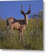 Mule Deer Buck In Velvet   #2231 Metal Print