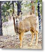 Mule Deer Does Metal Print