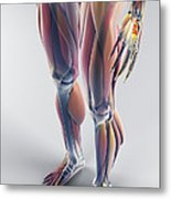 Muscles Of The Lower Body Metal Print