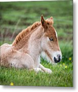 New Born Foal, Iceland Purebred Metal Print