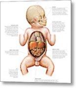 Newborn Internal Organs Metal Print