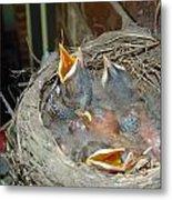 Newborn Robins Metal Print