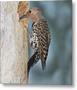 Northern Flicker Metal Print