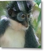 Northern Sumatran Leaf Monkey Metal Print