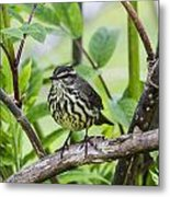 Northern Water Thrush Metal Print