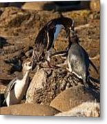 Nz Yellow-eyed Penguins Or Hoiho Feeding The Young Metal Print