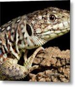 Ocellated Lizard Timon Lepidus Metal Print