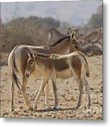 Onager Equus Hemionus 1 Metal Print
