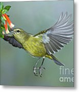 Orange-crowned Warbler Metal Print