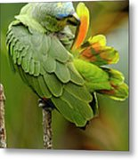 Orange-winged Parrot Amazona Amazonica Metal Print
