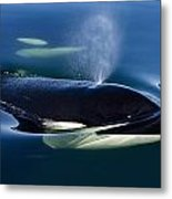 Orca Whale Surfaces In Lynn Canal Metal Print