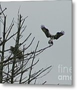 Osprey Love Metal Print