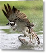 Osprey With A Living Fish, Fischadler Metal Print
