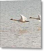 Pair Of Flying Trumpeter Swans Cygnus Buccinator Metal Print