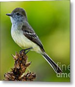 Pale-edged Flycatcher Metal Print