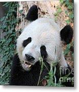 Panda Eating Metal Print