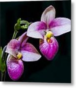 Paphiopedilum Hybrid  Metal Print by Gerald Murray Photography