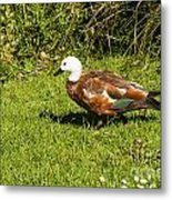 Female Paradise Duck Metal Print