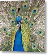 Peacock Full Plumage Metal Print