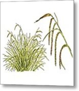 Pendulous Sedge (carex Pendula) Metal Print
