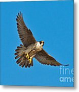 Peregrine Falcon In Flight Metal Print