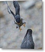 Peregrine Falcons Mating Metal Print
