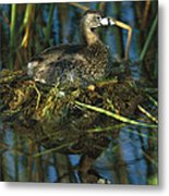 Pied-billed Grebe Nesting Texas Metal Print