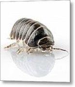 Pill-bug Armadillidium Vulgare Metal Print