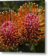 Pincushion Flowers Metal Print