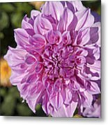 Pink Dahlia Metal Print by Peter French