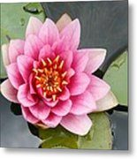 Pink Waterlily Metal Print