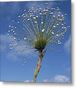 Pipewort Grassland Plants Blooming Metal Print