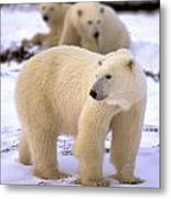 Polar Bear Family Metal Print