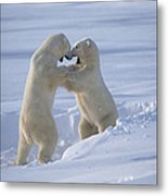 Polar Bear Males Sparring Churchill Metal Print