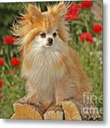 Pomeranian Dog Metal Print