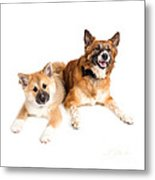 Icelandic Sheepdog Puppy And Adult  Metal Print