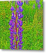 Purple Lupine On Campobello Island-nb Metal Print