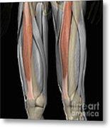 Rectus Femoris Muscles Metal Print
