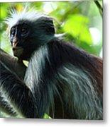 Red Colobus Monkey Metal Print by Aidan Moran