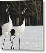 Red-crowned Cranes Courting Metal Print
