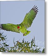 Red-crowned Parrot Metal Print