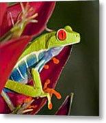 Red Eyed Tree Frog 2 Metal Print