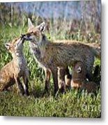Red Fox Family Metal Print