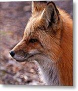 Red Fox In Prospect Park Metal Print