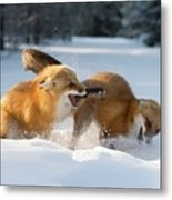 Red Foxes Interacting In Snow Metal Print