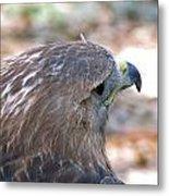Red Tailed Hawk 2  Metal Print