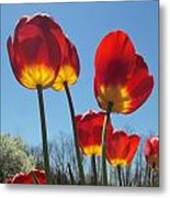 Red Tulips With Blue Sky Background Metal Print